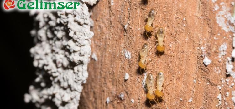 Plagas de termitas: detección y prevención.