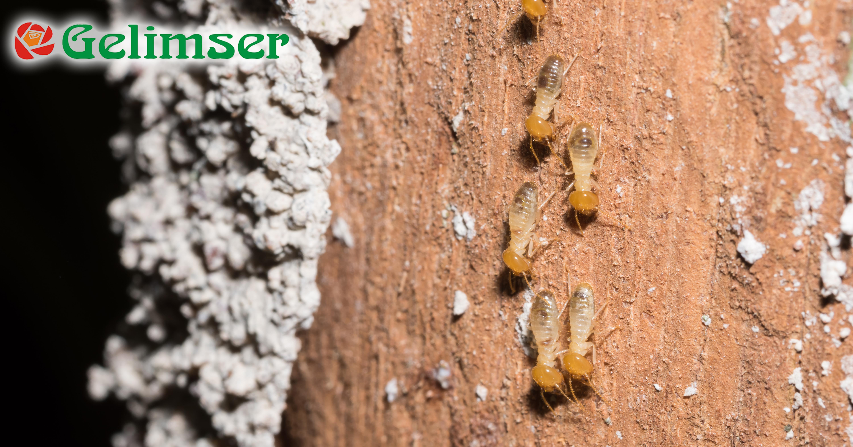 Plagas de termitas