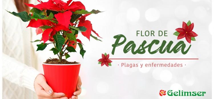 Flor de pascua: plagas y enfermedades