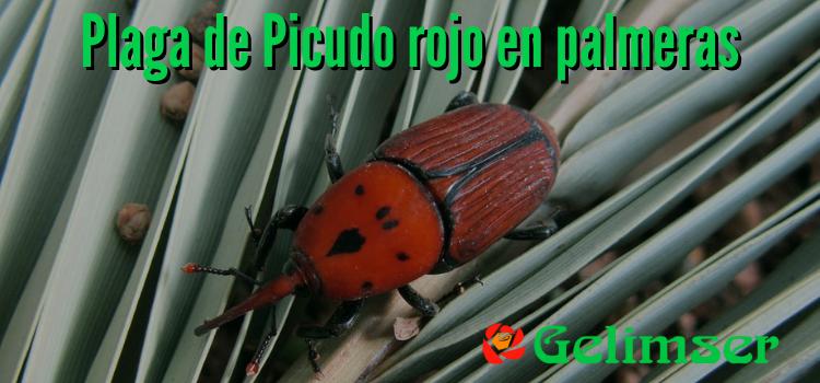 Plaga de Picudo rojo en las palmeras de tu comunidad